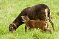SheepSoay.jpg