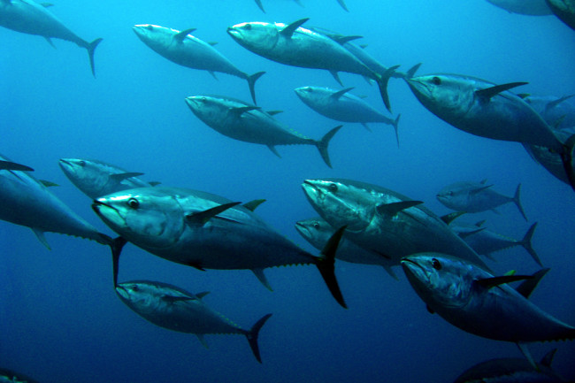 Bluefin Tuna School of Fish - Shutterstock