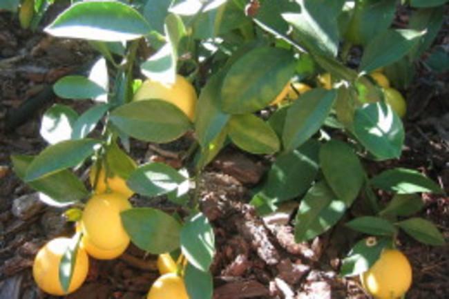 meyer_lemons.jpg