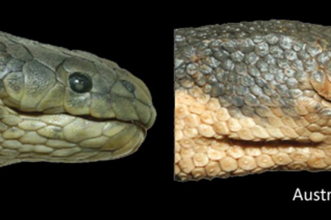 Beaked-sea-snake