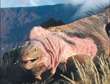 pink-iguana.jpg
