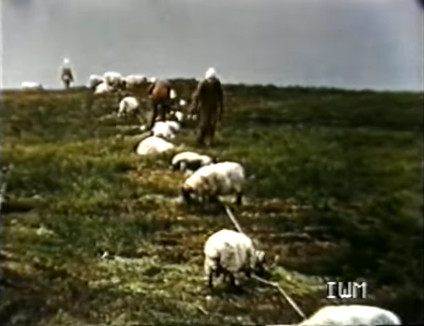 gruinard_anthrax_sheep1-copy.jpg