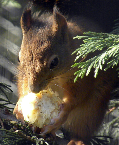 RedSquirrel.jpg