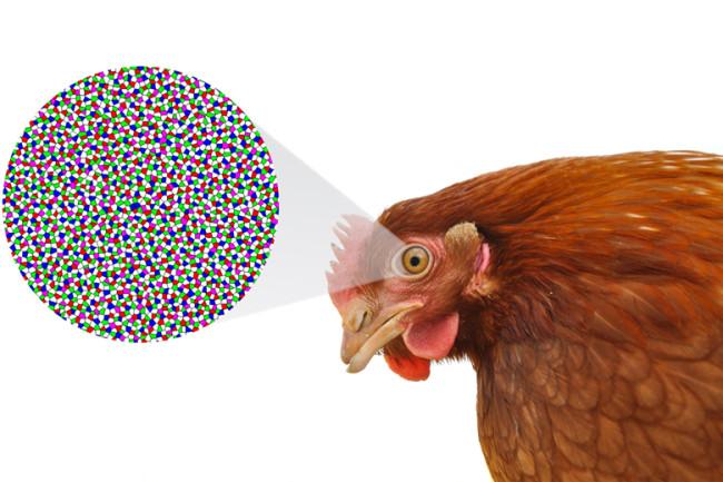 chicken-eye.jpg