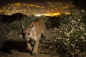 Mountain Lions Don't Love La La Land