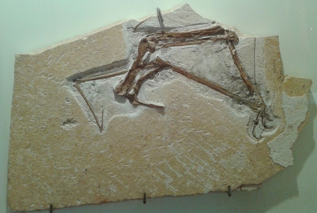 The Museu Nacional's many treasures included well-preserved pterosaur fossils. Curators are still assessing damage but it is likely much of the collections have been lost. (Credit: Wikimedia Commons/Dornicke)