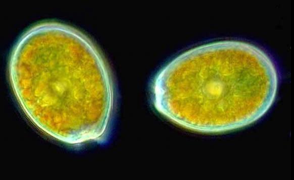 Dinoflagellate.jpg