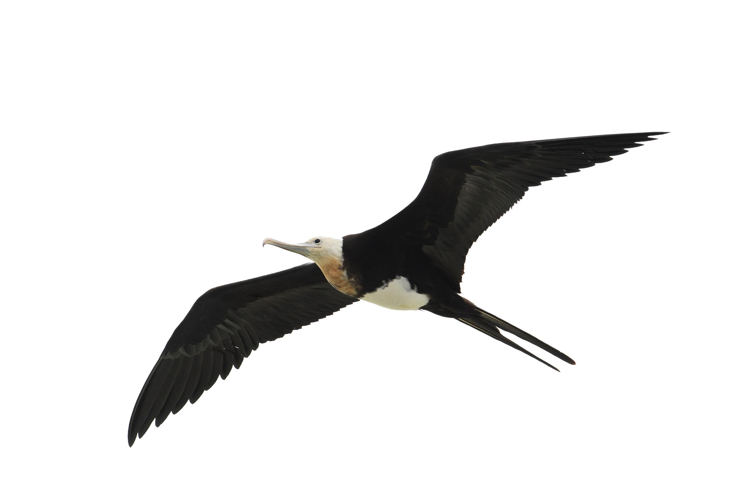 DSC-FL0719 05 frigatebird