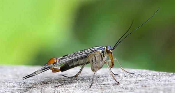 Scorpionfly.jpg