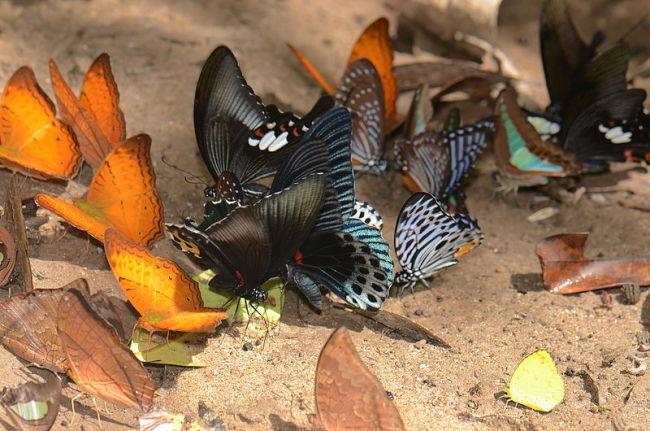 Butterflies_puddling_23979541343.jpg