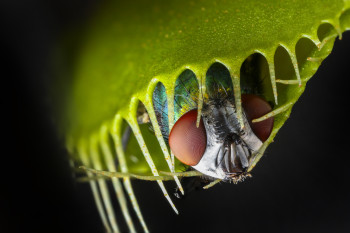 Why Did Carnivorous Plants Become Meat Eaters?
