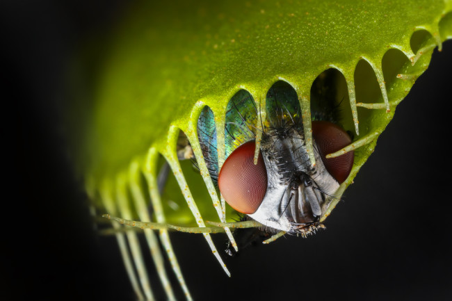 venus fly trap closed on a fly - shutterstock