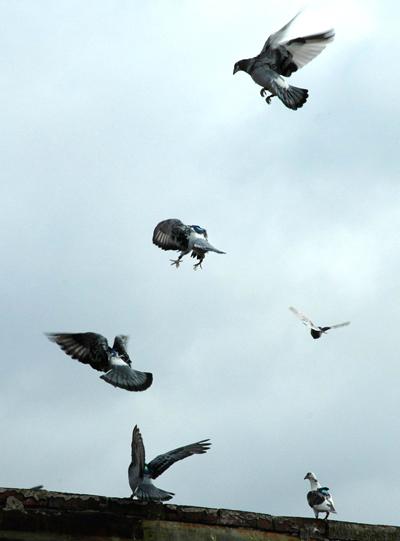 Pigeon_flight.jpg