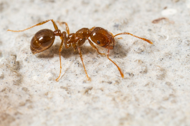 imported-red-fire-ant.jpg