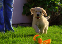 goldendoodle.jpg