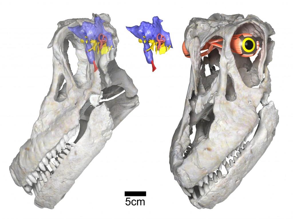 03-Sarmientosaurus-head-posture-brain-eye-WitmerLab-1024x763.jpg