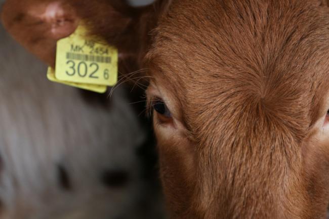 Cow Calf Face Close-Up - Shutterstock