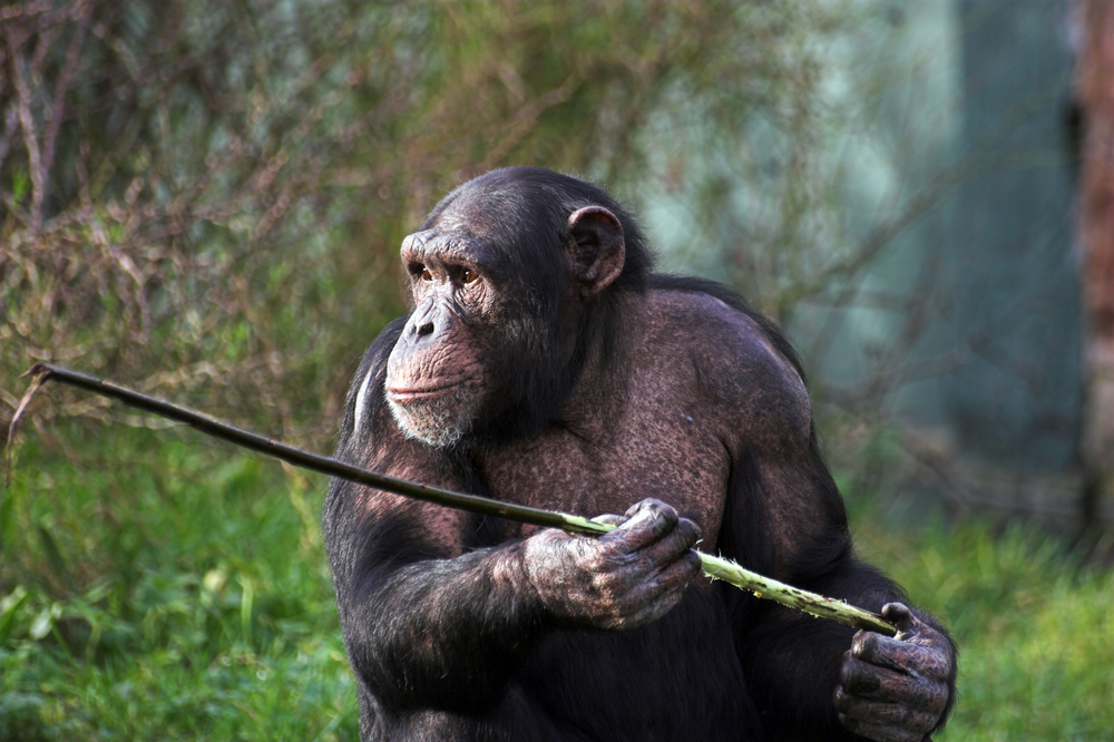 Chimpanzees Learn to Use Tools On Their Own, No Teaching Required