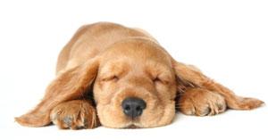 sleepingspaniel