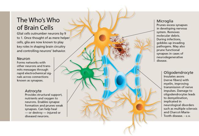 types of brain cells - neuron astrocyte microglia oligodendrocyte
