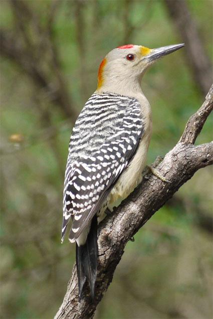 woodpecker.jpg