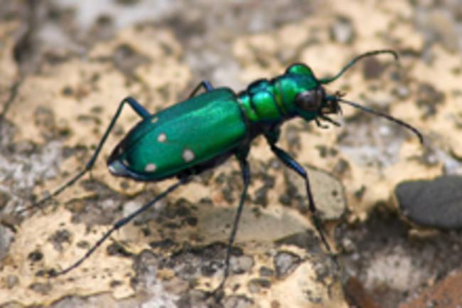 tiger-beetle220.jpg