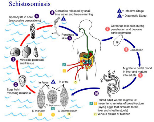 Schistosomiasis_Life_Cycle.jpg