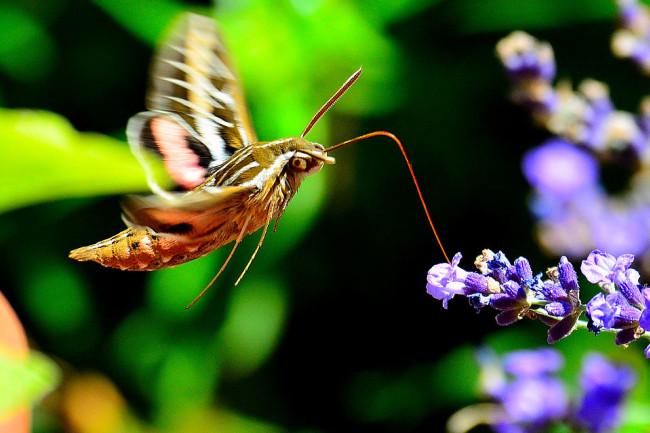 960px-Hummingbird_Moth_9687769149.jpg