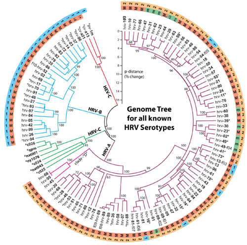 Common_Cold_family_tree.jpg