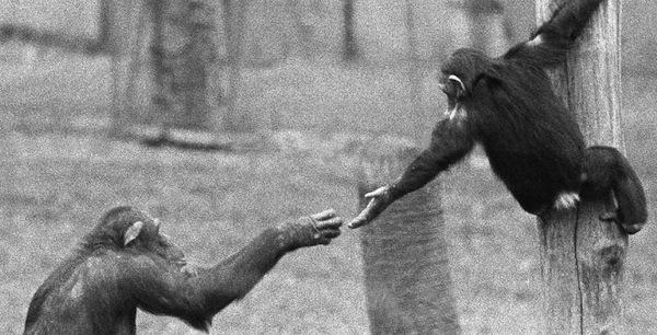 chimphelp.jpg