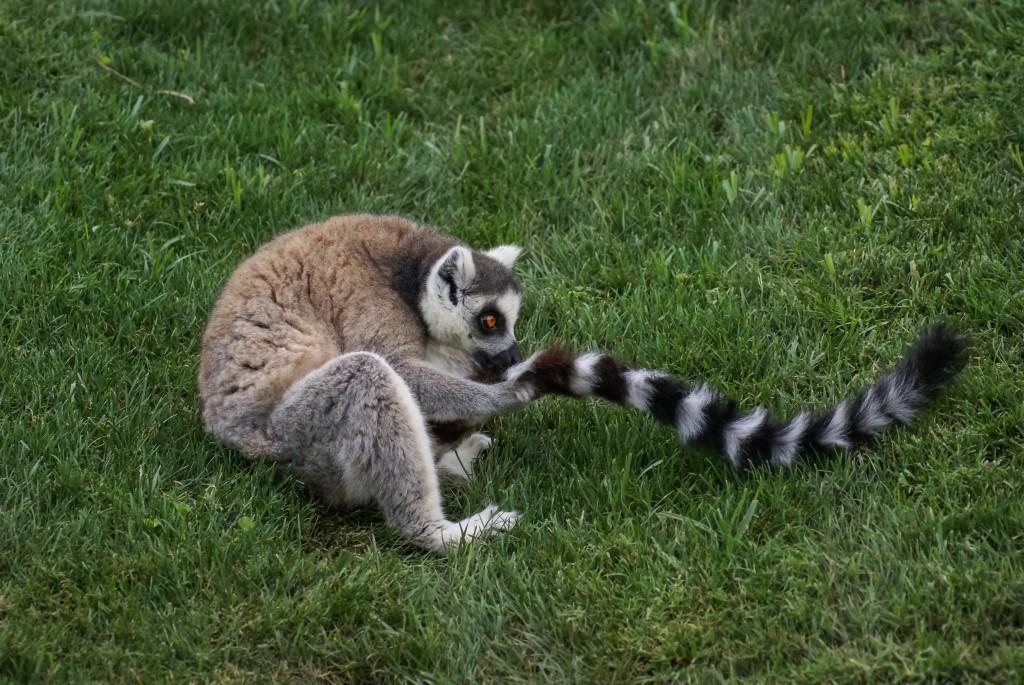 lemur_sniff-1024x685.jpg