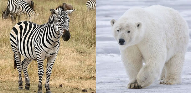 Zebra herpes virus kills zoo polar bears