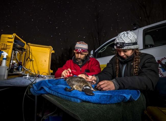 Researchers Radio Transponder Platypus - Douglas Gimesy