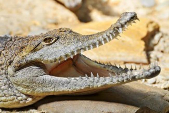 crocodile1-300x199.jpg