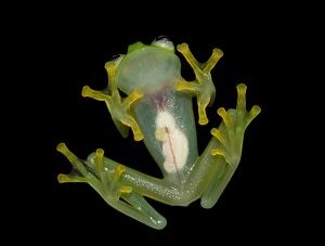 bare-hearted glass frog