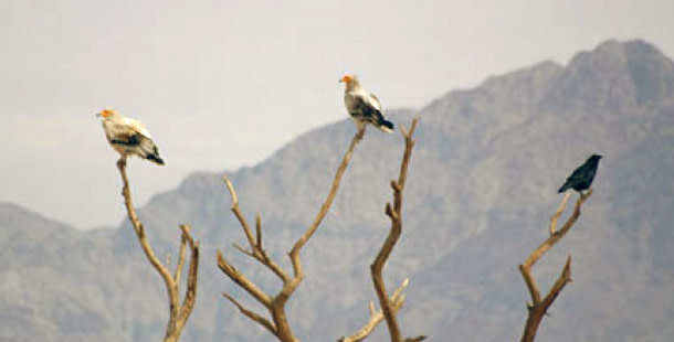Vulture_raven.jpg