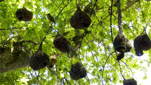 Weaver_nests.jpg