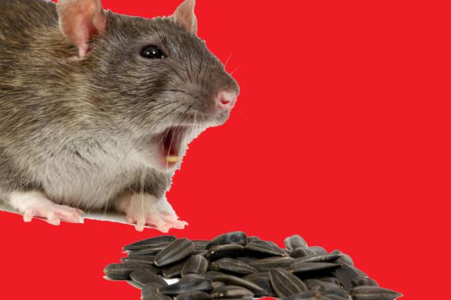 rat-bite.jpg