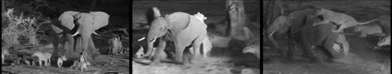elephant-panel-550.jpg