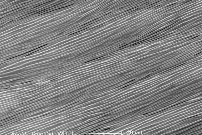 Pict3_Hibiscus-trionum-SEM.jpg