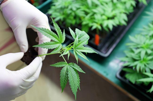 Marijuana-Grow
