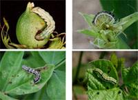 Bollworm1.jpg