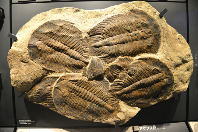 Fossil of Asaphida at the National Museum of Nature and Science Tokyo- shutterstock