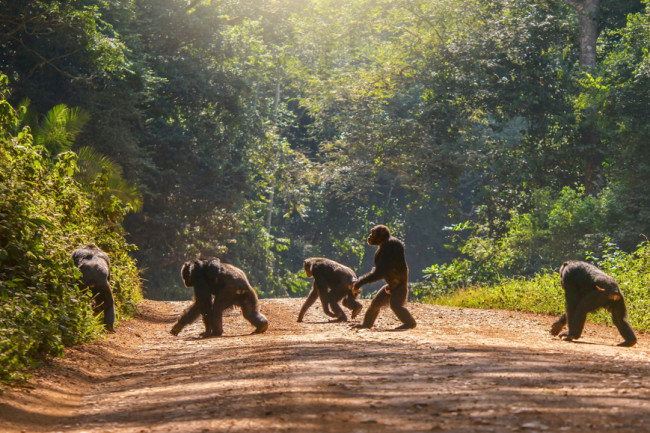 walking upright apes crossing the road wildlife - shutterstock
