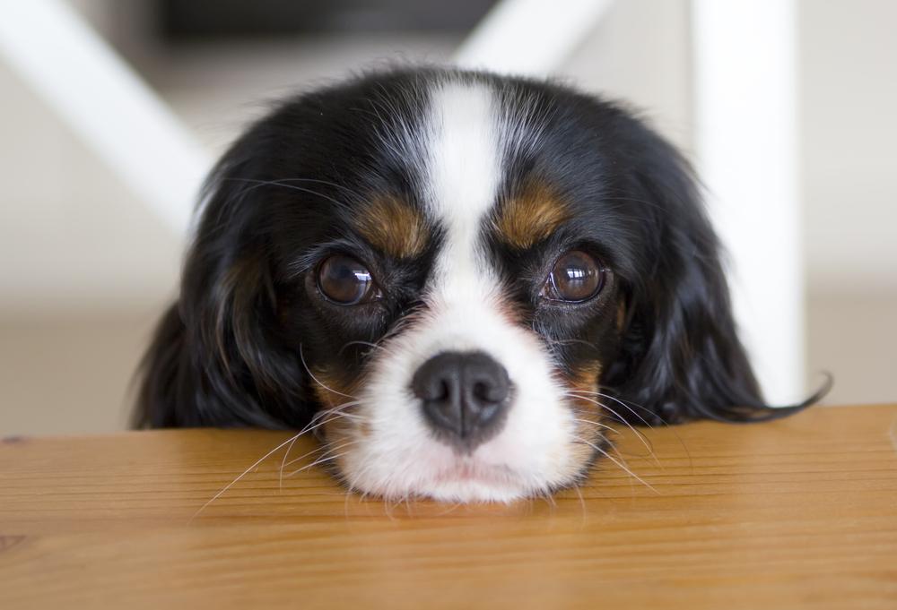 """Résultat de recherche d'images pour """"dog gazing owner eyes"""""""