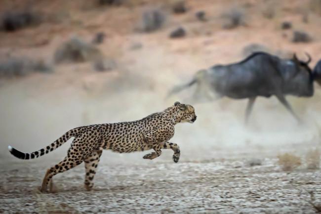 Cheetah-Hunting.jpg
