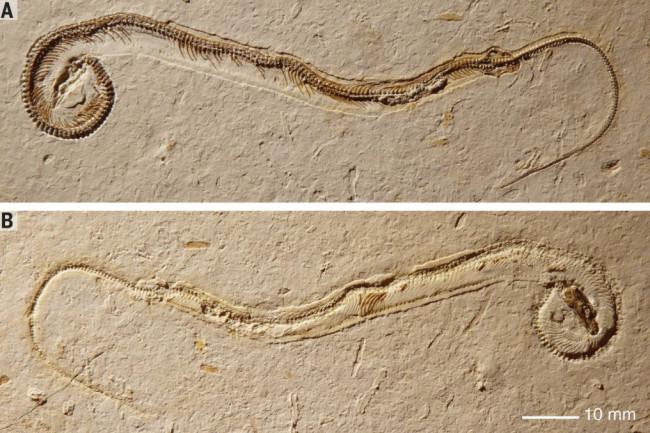Tetrapodopis amplectus Martill et al 2015 1024x677
