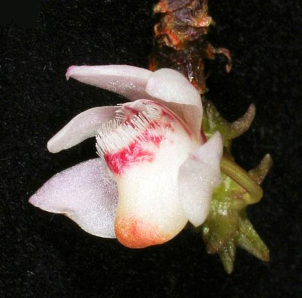 borneo-high-altitude-orchid.jpg