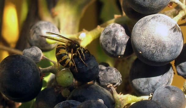 Wasp_grapes.jpg