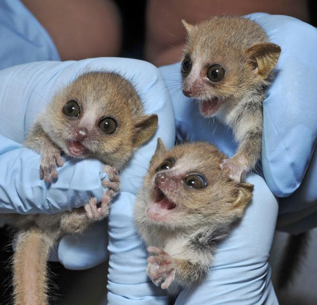 baby-lemurs.jpg